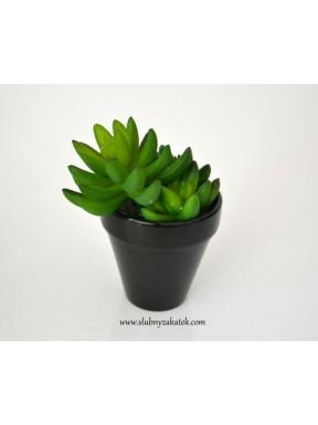 Kaktus 3 pąki